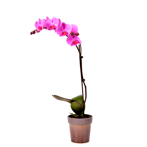 single-orchid-plant-in-a-container
