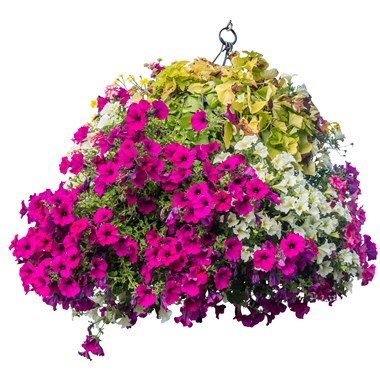 Beautiful_Hanging_Basket_-_Assorted_(2)